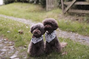 "Two poodle dogs that look very much alike, both wearing star decorated bandannas, used for a blog post titled, ""How to Decide Where to Host Your Websites."""