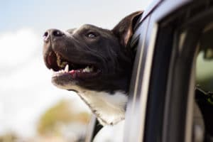 Photo image of a brown and white dog smiling with its head sticking out of the window of a moving automobile.